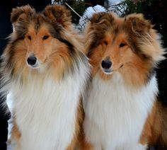 Beautiful collies :)