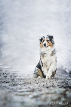 australian shepherd, the cutest freaking puppies and the coolest looking dogs grown up. Me and Steven are going to get one :)