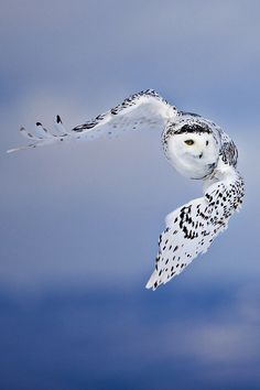 Snowy Owl, Photography by Al Smith on Flickr Beautiful Owl, Animals Beautiful, Cute Animals, Eagle Animals, Bird Kite, Owl Bird, Owl Photos, Owl Pictures, Georg Christoph Lichtenberg