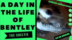 A DAY IN THE LIFE OF BENTLEY, THE SHELTIE - SHELTIE VIDEOS!