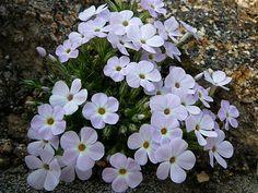 Phlox caespitosa subsp. pulvinata Garden, Plants, Lawn And Garden, Gardens, Plant, Outdoor, Home Landscaping, Tuin, Planting