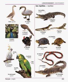 293 - Les oiseaux 2/2 et les reptiles