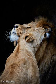 beautiful-blue-eyed-girl: earthyday: / Lion Love by Patrick Bakkum Adorable…. Beautiful Blue Eyes, Beautiful Cats, Animals Beautiful, Nature Animals, Animals And Pets, Cute Animals, Big Cats, Cats And Kittens, Gato Grande