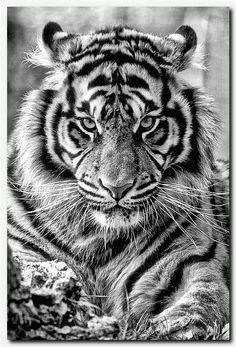 tattoo from neck to shoulder, 3 rose tattoo designs, best t. - tattoo from neck to shoulder, 3 rose tattoo designs, best tattooist in scotlan - Beautiful Cats, Animals Beautiful, Tiger Tattoodesign, Animals And Pets, Cute Animals, Tiger Art, Lion Tattoo, Tiger Tattoo Sleeve, Big Cat Tattoo