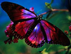 nebula butterfly