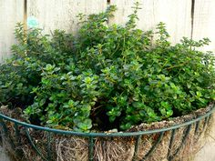 Buckwheat Plant For Deer