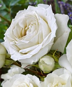White Symphonie: http://flowerzgardenz.blogspot.ca/2015/01/beautiful-rose-collection.html