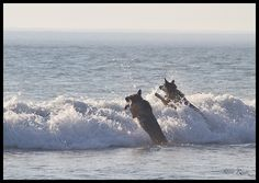German Shepherds  Surf Jumping. during sandy.. sandy U can't stop us great time at the beach