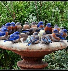 A bird bath full of Bluebirds! All Birds, Kinds Of Birds, Little Birds, Love Birds, Angry Birds, Pretty Birds, Beautiful Birds, Animals Beautiful, Cute Animals
