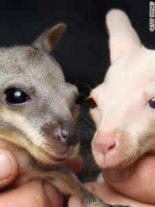 Rarest Albino Ever - Bing Images-Tammar Wallaby