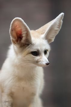"fennec fox | animal + wildlife photography ""Better to Hear you with my child..."" Corinne Madias Michigan"