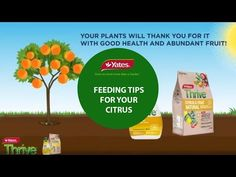 Citrus trees are like the teenage boys of your plant family - ALWAYS HUNGRY! Learn more about feeding your citrus for a fruitful harvest. Fruit Trees, Learning, Healthy, Tips, Plants, Food, Studying, Essen, Teaching