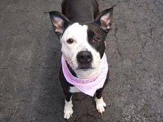 RIP DELTA. My Animal ID # is A1032413. – P 2yo female black and white pit bull mix brought to NYCACC by police after being found tied to a fence. Delta let her displeasure be known, at the time. She is rated ExpNoChildSafer. She needs an experienced owner who can help her through some behavioral training & social skills. She will need a home, where she is the only dog. She is playful & lives fetch & chase. Please help by adopting or fostering. She is to be destroyed 4/13/15.