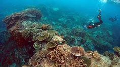 La Grande barrière de corail, en Australie, subit le pire épisode de blanchissement des coraux jamais enregistré, qui touche 93% d'entre eux, en raison de la hausse de la température de l'eau.