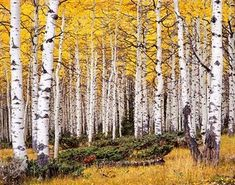 In the Fishlake National Forest, Utah, there is the quaking aspen colony of trees which are all fed by a connected root system and thus count as a single clonal colony tree. This means that the tree just keeps spreading out roots, the roots shoot up more trees, and so on. This makes it count as the world's heaviest known living organism weighing over 6,600 short tons. It is also one of the oldest known living organisms, estimated at the age of 80,000 years old.    Read more at the source…