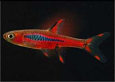 Mosquito Rasbora - Asia, 2-5cm. PH6.0-7.0, Fish gregarious and peaceful. Stands bench when kept with other species.