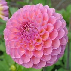 Miniature Ball Dahlia Superb pink/rose blooms of immaculate form. 1m