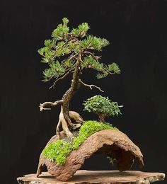 Walter Pall Bonsai Adventures Mugo Pine