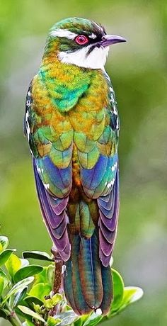 Rainbow Cuckoo