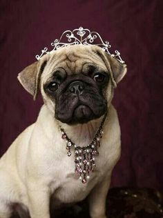 I love this little pug dressed up like a princess. If you like this pic then save it to your collection too.