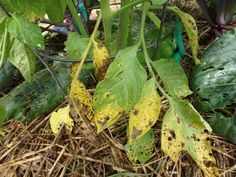 For most of us, growing disease-free tomatoes is nearly impossible. Usually by this time of the year, gardeners see lower leaves turning yellow and getting spots. Stems turn black early on. Some summers, we only get a few fruits, those tomatoes that started early. Other years we get late blight hal...