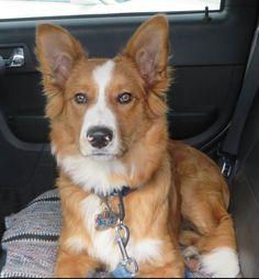 Toby, Border Collie/Retriever x Scotch Collie
