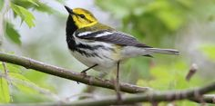How to Spot Migrating Songbirds  (Audubon site with many resources)
