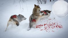 Wolf Attack Wolf Wolves Vs Wolves Fight Black Wolf Vs White Wolf Fight T...