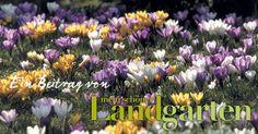 mein schoenes Land bloggt Krokuswiese Zweibelblumen Pflanzzeit Herbst