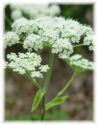 """... , and my favorite: """"Masterwort"""" For the recipe for homemade Dra..."""
