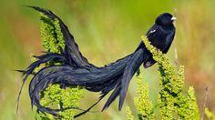 Uzun Kuyruklu Dul Kuşu (Euplectes progne)