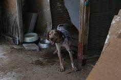 Canela cuando vivía encadenada, en malas condiciones. Problemas en un ojo que le hicieron perder la vista del mismo.  Ahora vive en un hogar maravilloso con otros perros y con su compañera Molly con la que vivió encadenada, tiene una familia que la adora. Adoptada.