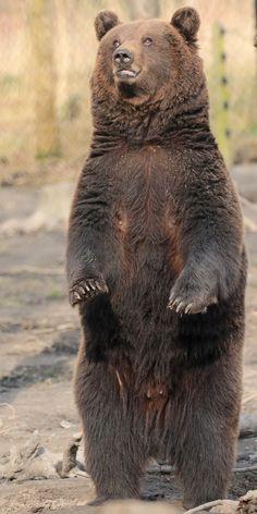 brownbear Hoenderdaell JN6A2975