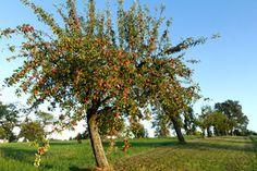 Apfelbaum - Das keltische Baumhoroskop 25.06.-04.07. & 23.12.-01.01. Der Apfelbaum ist einer der ältesten Fruchtbäume der westlichen Welt und wurde von den Kelten als heiliger Baum verehrt.