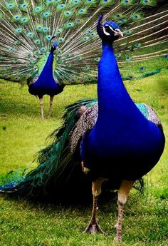 Indian peafowl (Pavo cristatus) by Lj Lambert Peacock And Peahen, Peacock Bird, Peacock Dress, Most Beautiful Birds, Pretty Birds, Beautiful Beautiful, Beautiful Pictures, Exotic Birds, Colorful Birds