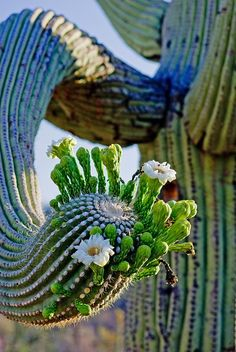 Cactus flower with a twist, literally! Huge desert flowering plants feed the insects. DdO:) MOST POPULAR RE-PINS - http://www.pinterest.com/DianaDeeOsborne/flowers-beyond-expected/ - FLOWERS BEYOND EXPECTED. Towering cacti give shade in the heat to bugs and animals - with beauty among their thorns.