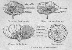 Dessins botanique : Image (35) - Structure de fleur de renoncule.jpg