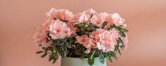 Liebe liegt in der Luft. Neben Schokolade, Schmuck und einem stilvollen Abendessen sind auch Blumen ein echter Klassiker, um seiner Liebe Ausdruck zu verleihen. Doch weshalb einen kurzlebigen Strauß verschenken, wenn sich langlebigere Alternativen – wie etwa die belgische Azalee – anbieten?