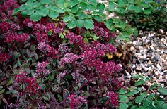 Stonecrop 'Ruby Glow' herbaceous perennial forming a low clump of spreading deep red stems to 25cm in height . Summer flowering. Grow in moderately fertile, well-drained, neutral to slightly alkaline soil in full sun. A drought-tolerant plant