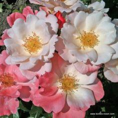 KORDES Rosen Roseromantic ® - Neuheiten 2014/2015 - Gartenrosen (wurzelnackt) Die schönsten Rosen der Welt Kordes Rosen, Floribunda Roses, Roses Only, Amazing Flowers, Glasgow, Perennials, Bronze, Garden, Plants