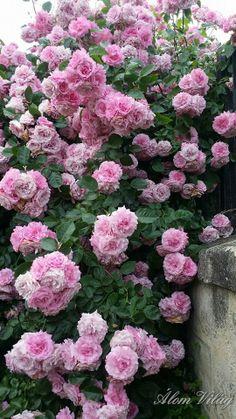 kápolna rózsái
