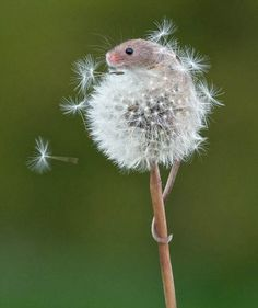Harvest mouse on a dandelion by Matt Binstead, British Wildlife Center, Surrey