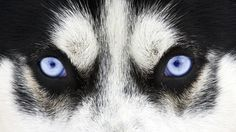 Resultado de imagen para lobos mirando de frente