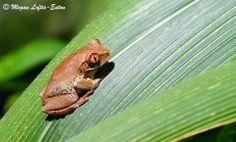 Natal Tree Frog aka Forest Tree Frog (Leptopelis natalensis)