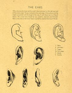 Drawing The Ears --- drawing-techniques-drawing-tips. Ear Anatomy, Anatomy Study, Anatomy Drawing, Anatomy Reference, Drawing Reference, Drawing Studies, Art Studies, Drawing Techniques, Drawing Tips