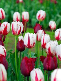 Beautiful Blend Tulip El Diablo Roja -- Bluestone Perennials
