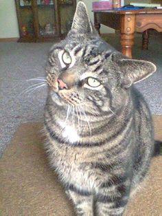 Tiger the tabby #cats #Fully Feline