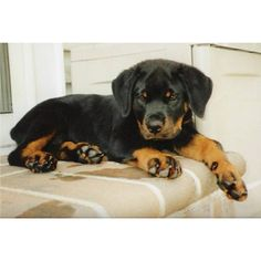 Pictures of Rottweilers we have sold ❤ liked on Polyvore featuring animals, dogs, pets and puppies
