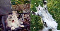If you think your tabby is funny, wait until you see these silly maine coon cats Funny Cat Memes, Funny Cat Videos, Funny Cat Pictures, Cat And Dog Videos, Sleeping Kitten, Buzzfeed Animals, Funny Cats And Dogs, Maine Coon Cats, Dog Signs