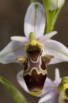 Ophrys scolopax - Photo from: The flower of the European orchid - Form and function: